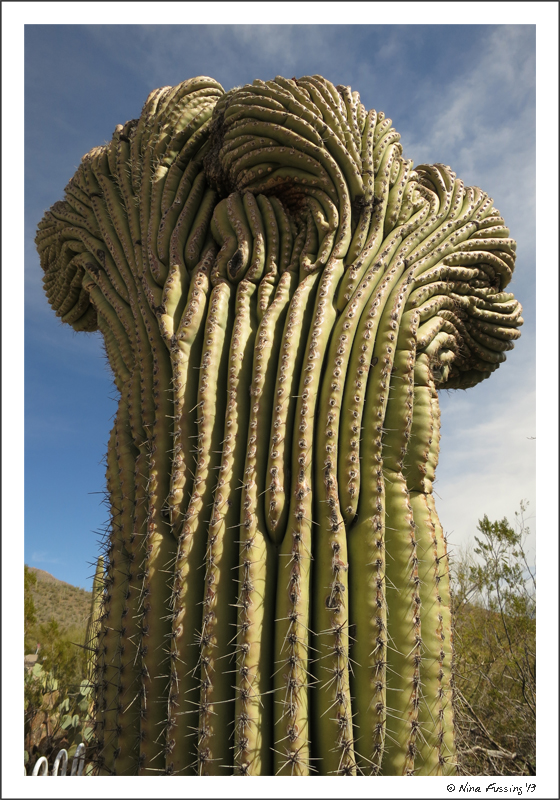A mutated...I mean crested Saguaro
