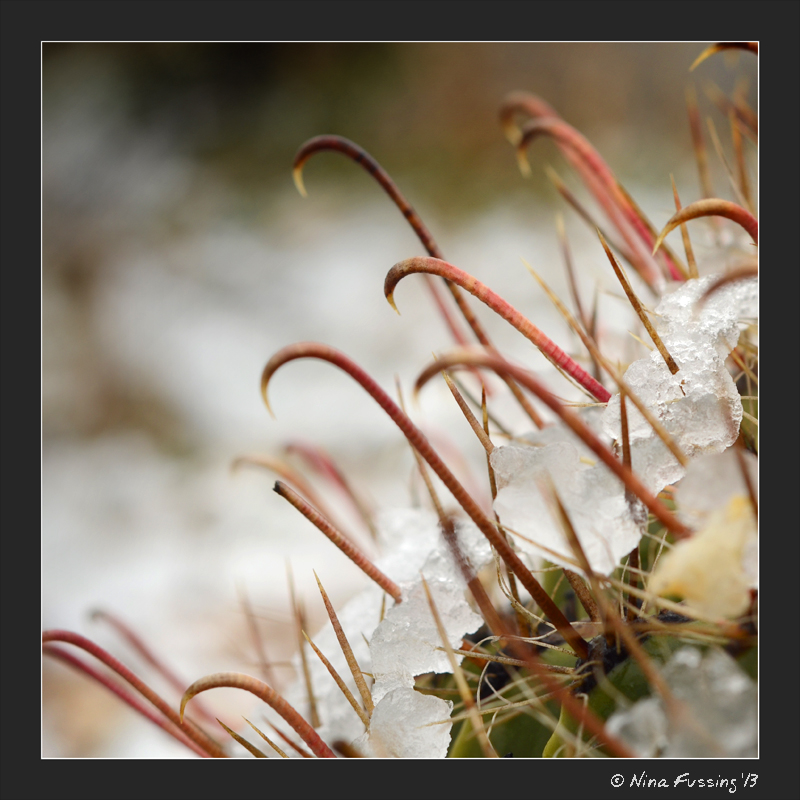Snow on cactus