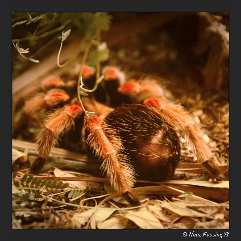 A Mexican Fireleg Tarantula...double eeeeek!