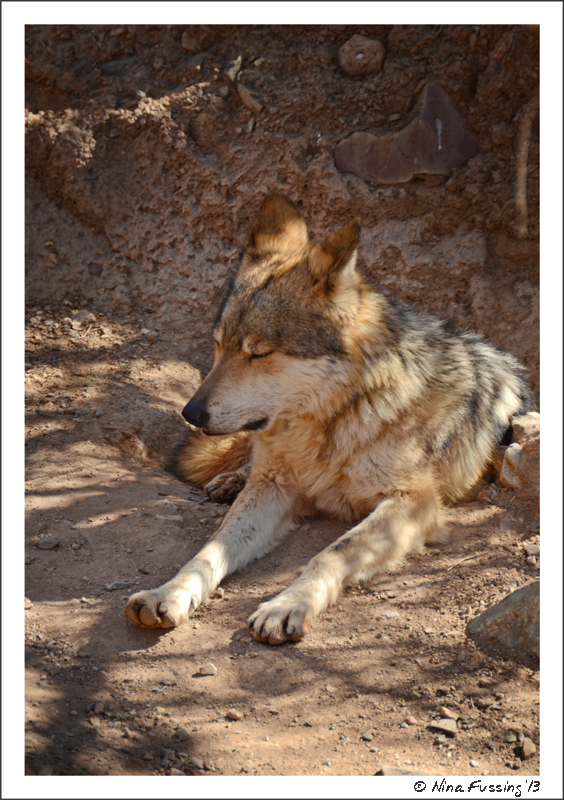 The Mexican Wolf...what a beauty!