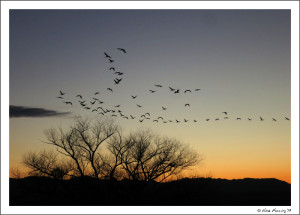 Sandhill Cranes coming to roost at sunset