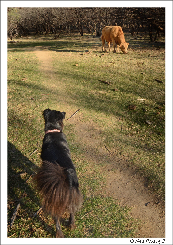 Polly eyes a cow on the trail