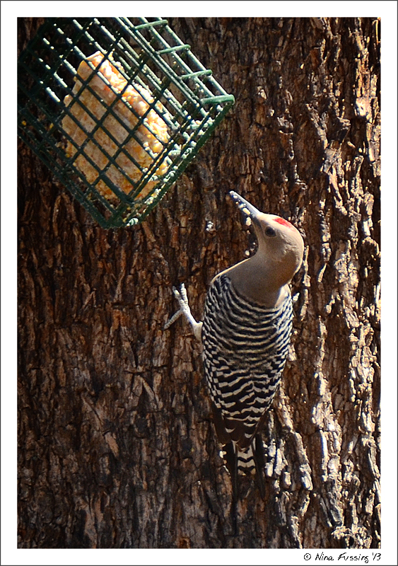 A Gila woodpecker