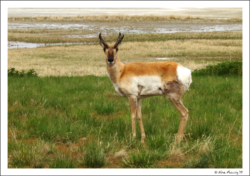A pronghorn takes a look