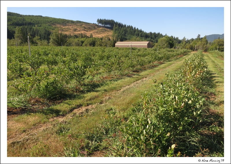 Young blueberry bushes at Tall T Blueberry Farm